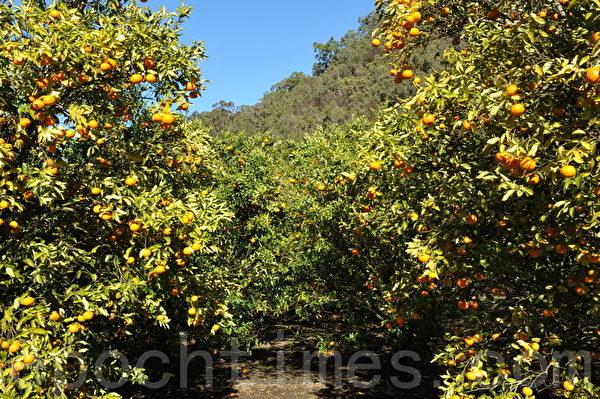果实累累的橘树(攝影:簡玬/大紀元)