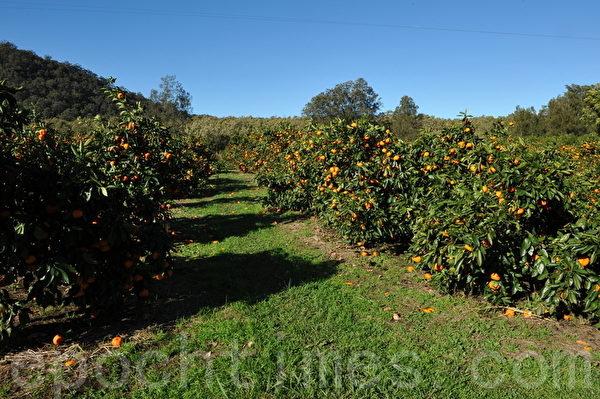 橘树(攝影:簡玬/大紀元)