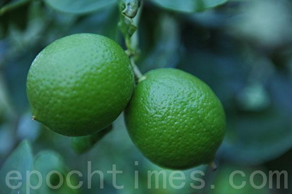 果园里的青柠檬(攝影:簡玬/大紀元)