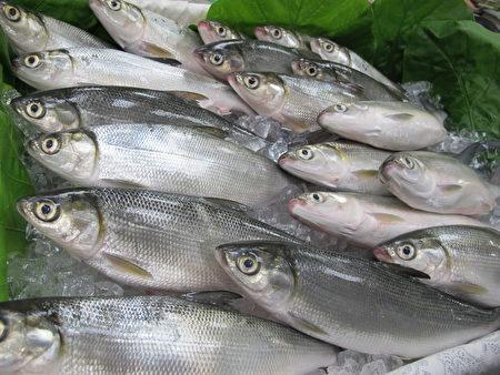 """虱目鱼属于海洋食物链底层生物,至于养殖鱼,则是喂以植物性饵料,没有食用高汞鱼的疑虑,在""""台湾海鲜指南""""中属于""""建议食用鱼""""。(施芝吟/大纪元)"""