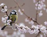 维也纳的研究指出,雄蓝山雀会因伴侣不再美丽,拉长在外蹓跶时间,也开始忽视自己的幼雀。(Dan Kitwood/Getty Images)
