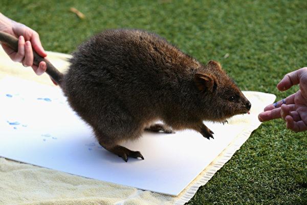 当地时间2012年6月27日,澳大利亚悉尼,一只澳洲短尾矮袋鼠正在采集脚印。悉尼塔龙加动物园与自然保护区启动了一项动物保护计划,为这些动物制作足掌画布。(Cameron Spencer/Getty Images)