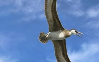 澳發現史前巨鳥化石 翅長超豐田越野車