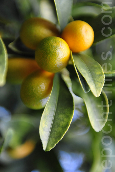 农场里的金橘(攝影:簡玬/大紀元)