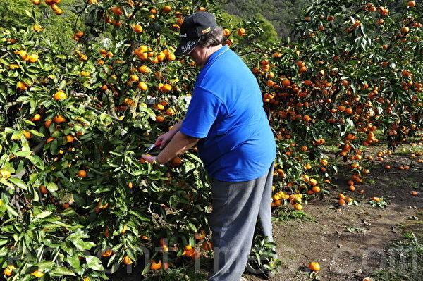 前些天下了几天雨,有的橘子就不好了,福特農場的员工在清理(攝影:簡玬/大紀元)