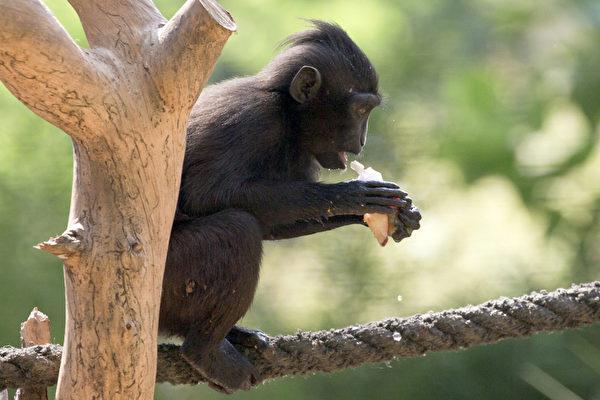 当地时间2012年7月12日,以色列拉马特甘的动物园,因为当地气温达到摄氏34度,园方特地制作蔬菜水果冰给动物吃,图为黑猴吃冰。(JACK GUEZ/AFP)