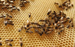 为救蜜蜂 法国禁用先正达杀虫剂