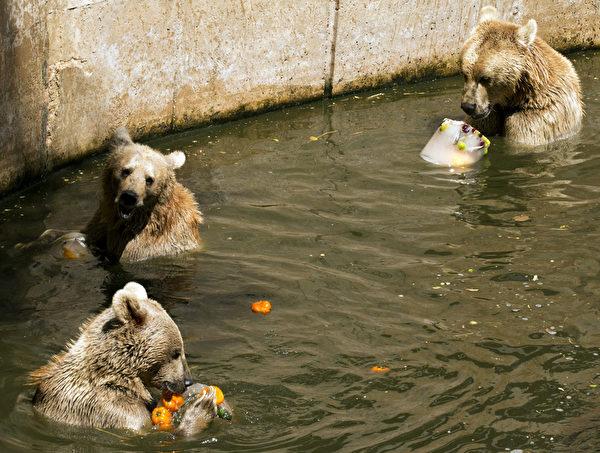 当地时间2012年7月12日,以色列拉马特甘的动物园,因为当地气温达到摄氏34度,园方特地制作蔬菜水果冰给动物吃,图为棕熊吃冰。(JACK GUEZ/AFP)