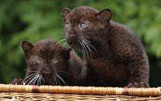 組圖:德柏林動物園 雙胞胎小黑豹亮相