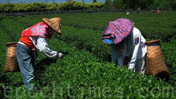 人工手采茶叶(摄影:温秀珍 /大纪元)