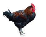 簿册记载:偷邻居的一只鸡,连毛重一斤十二两。(Fotolia)