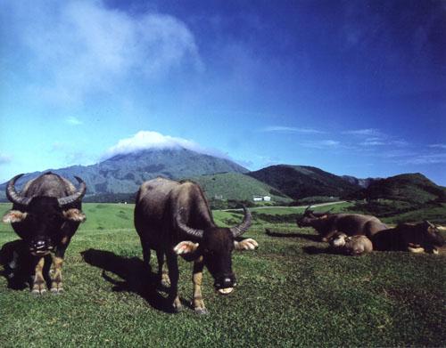 阳明山擎天岗--青山伴水牛。(摄影:陈丰荣 /台湾观光局提供)