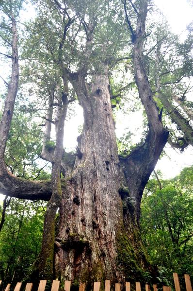 """司马库斯--巨大神木,直指通天。司马库斯位于海拔1,500公尺的高山,是新竹县最遍远的泰雅族部落。因为地点深僻,居民人数较少,早年没有提供电力,入夜后部落里一片漆黑,外界一度以""""黑色部落""""称之。(摄影:40男 )"""