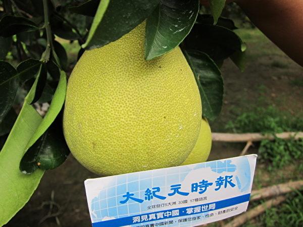 柚皮毛孔細緻為佳 (攝影︰劉美蘭/大紀元)