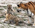 图为科隆动物园两只小老虎和母虎今年2月初次亮相时的情景。(ROLF VENNENBERND/AFP/Getty Images)