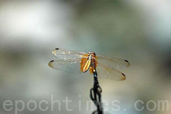 蜻蜓的晶莹剔透薄翼从何而来,是进化论的难解谜团。(摄影:王仁骏 / 大纪元)
