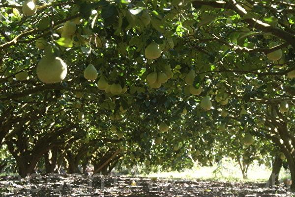 图为在东海岸山脉西侧种植文旦果实累累的挂在树上。(摄影:詹亦菱/大纪元)