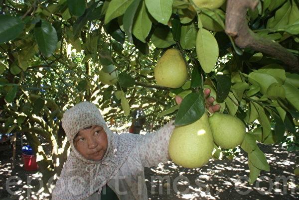 图为70多岁的阿嬷在柚园帮忙采收。(摄影:詹亦菱/大纪元)