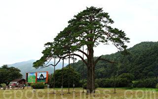 官拜二品的韓國古松。(攝影:全宇/大紀元)