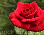 玫瑰 (摄影:奥列格/大纪元)