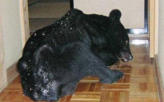 日本熊出没 入侵民宅觅食
