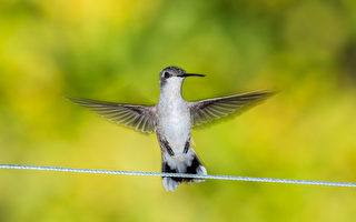 你见过小鸟翅膀不动 在空中飘浮吗?
