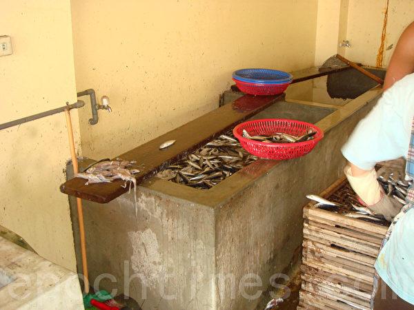 鱼货倒入盐水槽,腌渍1小时。(摄影:林秀霞 / 大纪元)