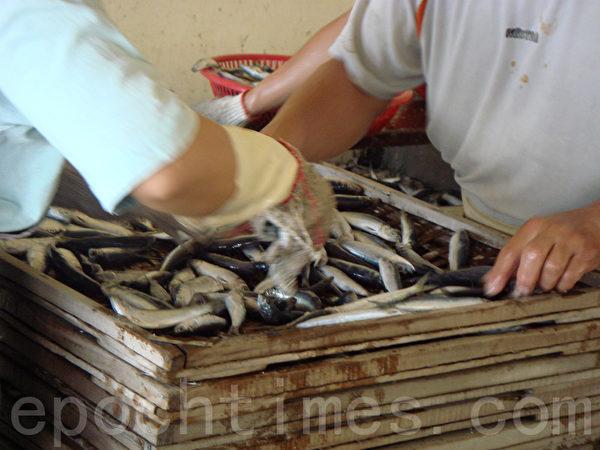 忙碌快速的双手把鱼铺在一层层的木盘。(摄影:林秀霞 / 大纪元)