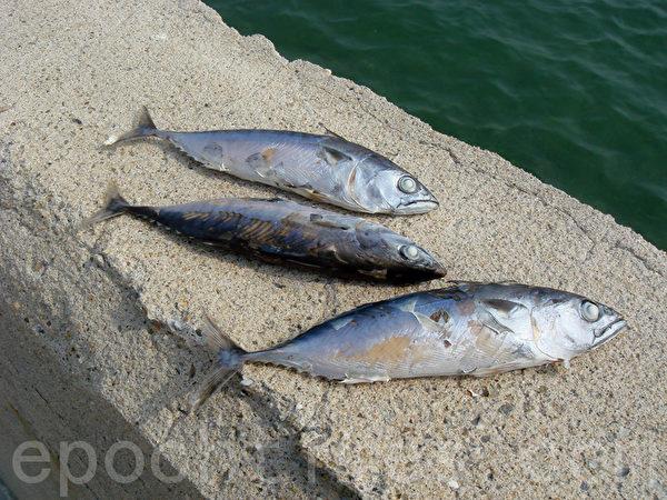 挑出非沙丁鱼,晒干后自己配粥也很好吃。(摄影:林秀霞 / 大纪元)