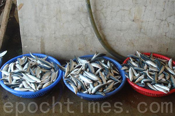 鱼捞出盐水槽,准备铺盘、蒸熟。(摄影:林秀霞 / 大纪元)