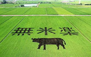 彩繪圖案充分利用綠、紫色兩種顏色的水稻對比設計出「無米樂」字樣及「水牛」圖案,讓綠油油稻田搖身一變成為彩繪藝術。(台南市政府提供)