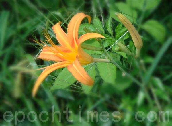 """""""萱草""""可供食用的花蕾被称为""""金针""""或""""黄花菜""""。(摄影:彩霞/大纪元)"""