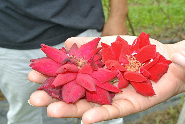 有機玫瑰花可以當場生吃(攝影:鄭池南/大紀元)