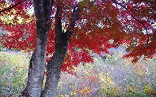 在日本岐阜县链接高山市与郡上市的472号国道是一条有名的风景大道,来观赏枫叶兜风的游客络绎不绝。(摄影:工优美/大纪元)