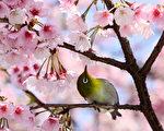 太靠近了!——2012年4月1日,東京公園櫻花樹上小鳥。(YOSHIKAZU TSUNO/AFP)
