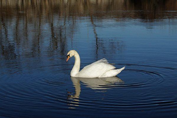 美丽的白天鹅 (摄影:奥列格/大纪元)