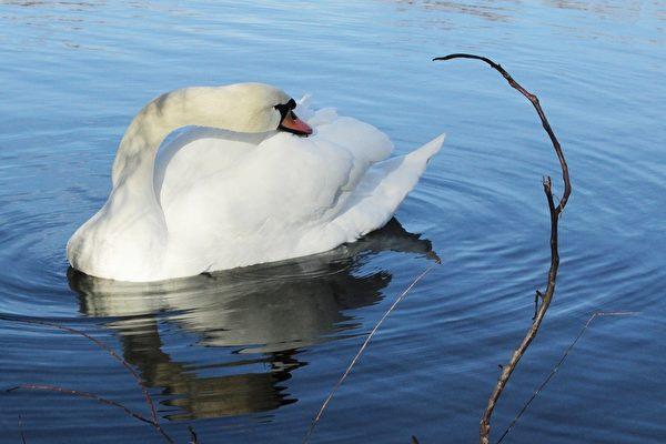 千姿百态的白天鹅(摄影:奥列格/大纪元)
