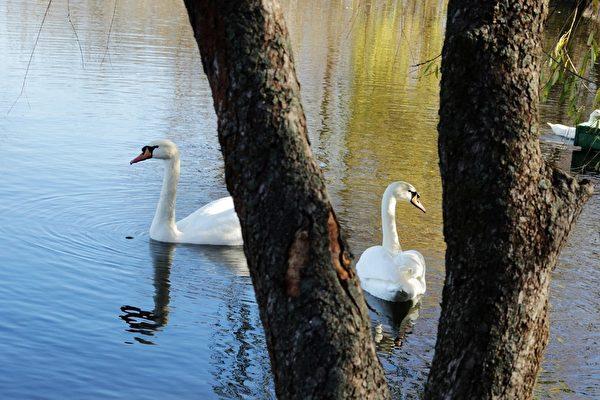 美丽的白天鹅(摄影:奥列格/大纪元)