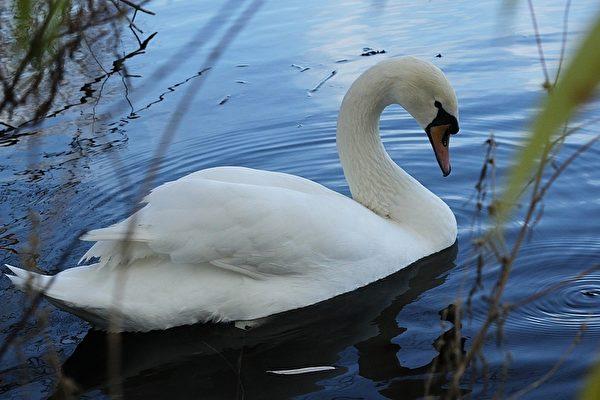 美丽的白天鹅 (摄影:奥列格/大纪元