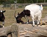 美国肯塔基州谢尔比的多个农场,近日发生数起牲畜遭不明生物盗耳事件,受害的牲畜大多是羊和牛只。(MAX NASH/AFP/Getty Images)