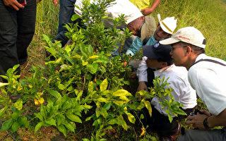 曾危害台湾柑橘业的黄龙病正侵袭中美洲,专家研判若不防治,中美洲柑橘有5年内消失之虞,现友邦寻求台湾相助。图为台专家去年赴巴拿马考察染病的柑橘树。(国合会提供)