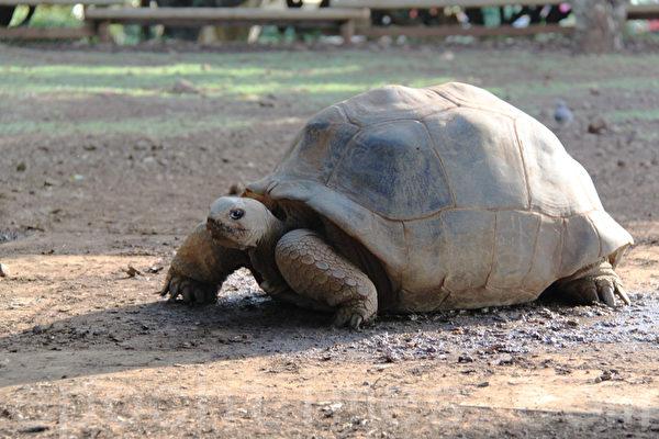 巨大象龟。(摄影:戴德蔓/大纪元)