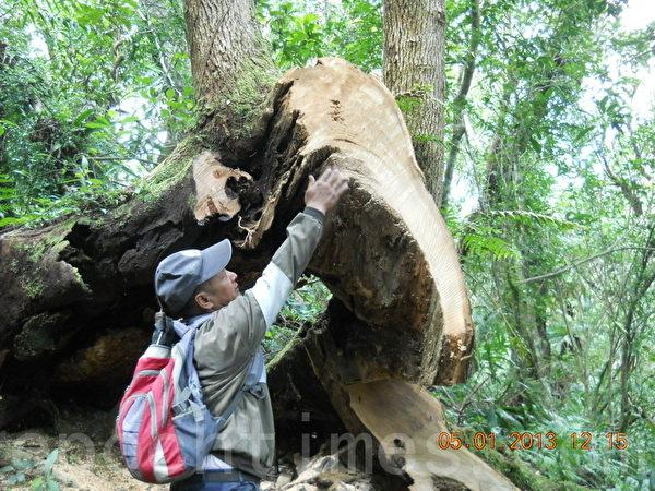 图为花莲林管处巡山员发现牛樟木被盗伐现场。(图片林管处提供)