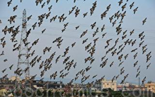 椋鳥過境大村鄉  鳥海超吸睛