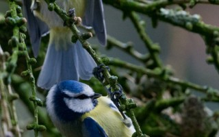 吊单杠──2012年12月27日,德国 Bad Homburg 蓝雀。(BORIS ROESSLER/DPA/AFP)