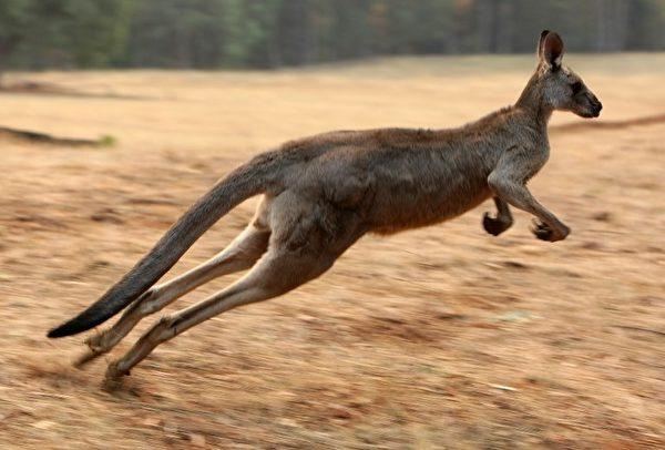 袋鼠的后腿强壮有力,使其拥有很强的跳跃能力。(Photo by TORSTEN BLACKWOOD / AFP)