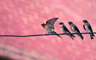越过万水千山的燕子,从不见它们和麻雀争食,也罕见它们在人类丢弃的饭食里忽上忽下找寻垃圾美食。(王嘉益  / 大纪元)