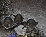 媒體報導,近日廣州發現果子狸「地下交易」情形。果子狸是人類SARS冠狀病毒最主要的載體。(大紀元檔案照片)