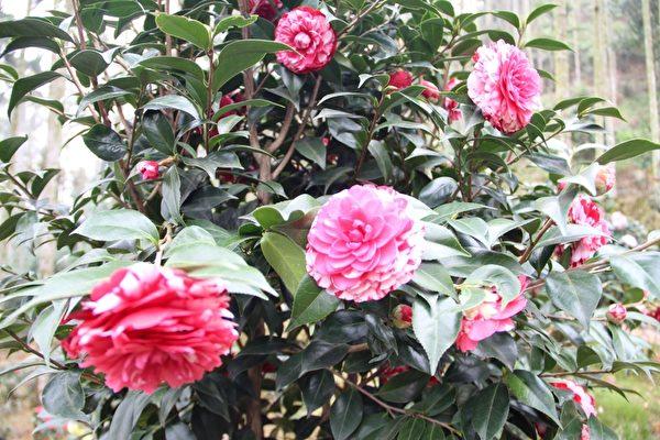 三宝山茶花园中盛开的茶花。(摄影:李撷璎/大纪元)