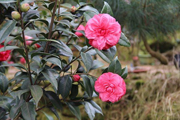 红色的茶花--依廸康贝塔雷德有着绝美的花容,令人赞叹。(摄影:李撷璎/大纪元)